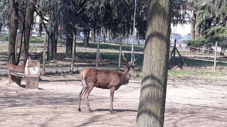 Cervo Cavenago.jpg