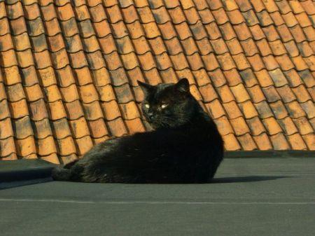 concorezzo gatto bloccato sul tetto